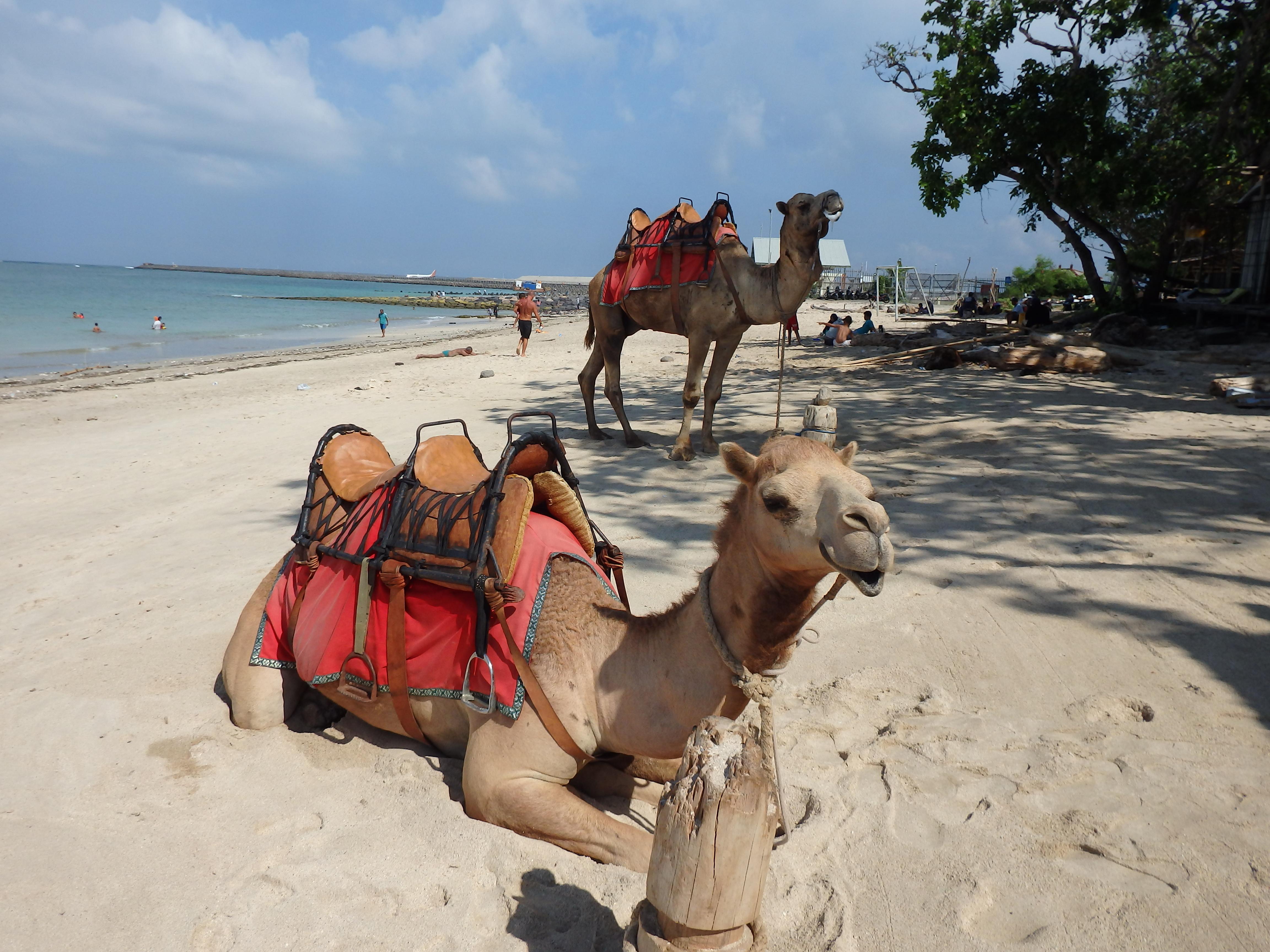 ラクダに乗ってバリ島の綺麗なビーチを散策!Bali Camel Adventure | バリ島ア