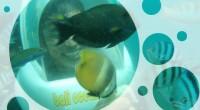 2011年6月1日、BMR社のバリオーシャンウォーカーに行ってきました!ここの特徴はとにかく驚きの低価 格です。お一人様 $45はすごいです。 内容は、酸素ヘルメットをかぶってタンジュンべノア沖の美しい海底を散策して、水...